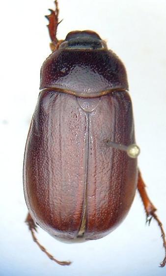 Phyllophaga inversa - female