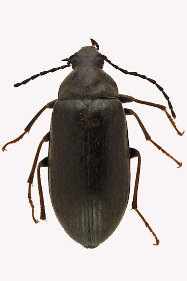Darkling Beetle - Isomira quadristriata
