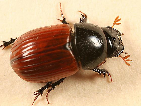 colorful Dung Beetle - Aphodius fimetarius