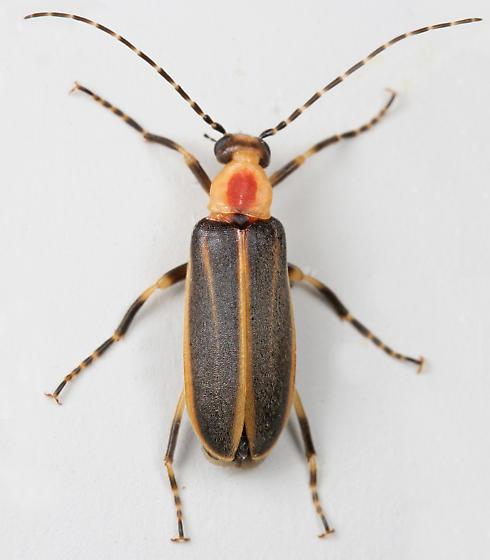 BG2610 E4624 - Pseudozonitis longicornis