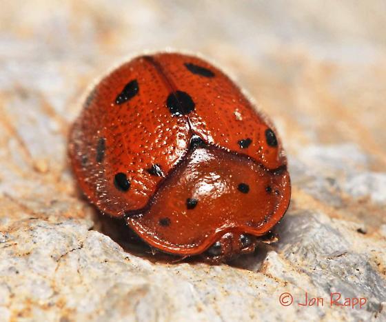 Tortoise Beetle - Chelymorpha phytophagica