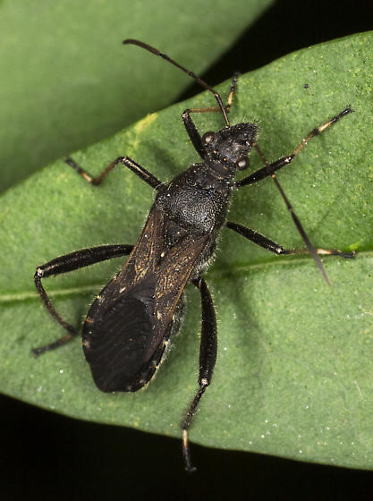 Unidentified insect  - Alydus eurinus