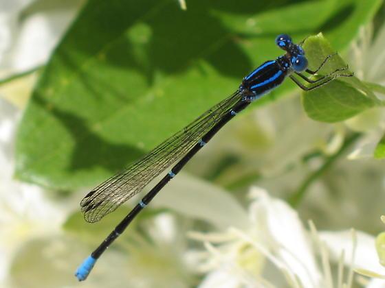 what kind of bluet? - Argia sedula