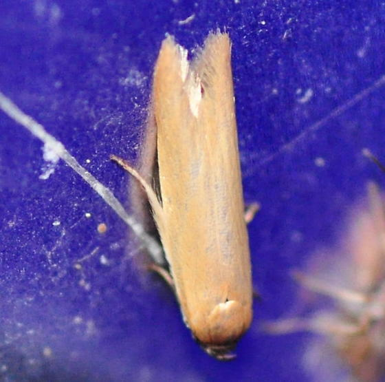 Holcocera immaculella, 1221 - Holcocera immaculella