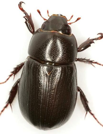 Dyscinetus morator (Fabricius) - Dyscinetus morator