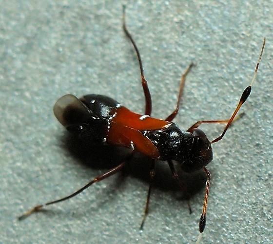 Pilophorus furvus? - Pilophorus