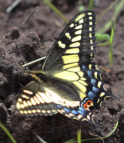 Oregon Swallowtail? - Papilio