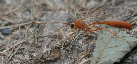 Wasp with convulsions - Enicospilus