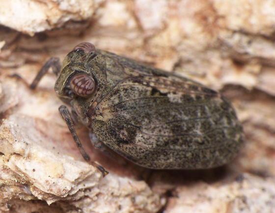Hysteropterum Adult? - Thionia elliptica