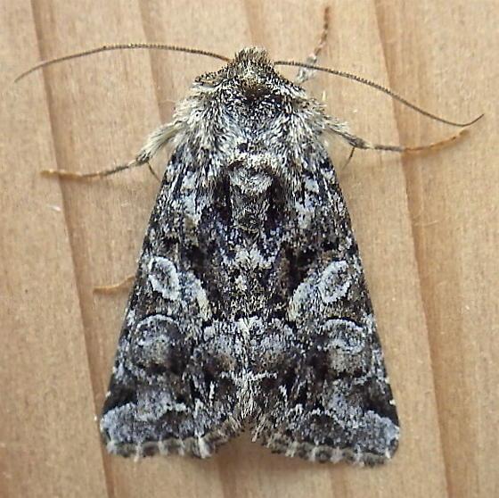 Noctuidae: Hada sutrina - Hadena ectrapela