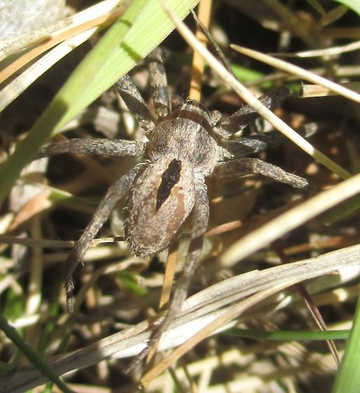 Quick Grass Spider - Thanatus