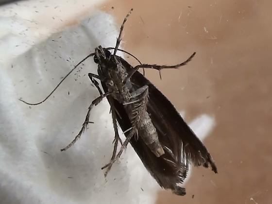 Epermeniidae: Epermenia albapunctella? - Epermenia