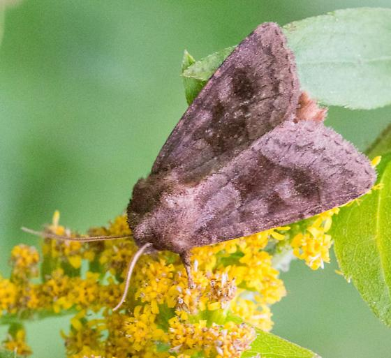 Moth - Nephelodes minians