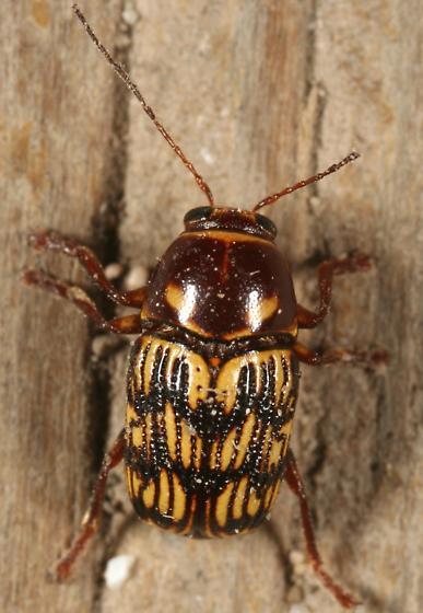 Case-bearer - Cryptocephalus atrofasciatus