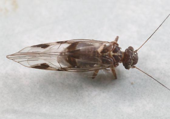 Indiopsocus bisignatus ?