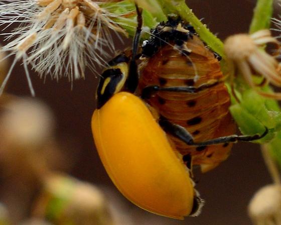 Unkown Beetle 7862 - Hippodamia
