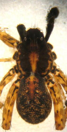 Small male lycosid - Pardosa californica - male