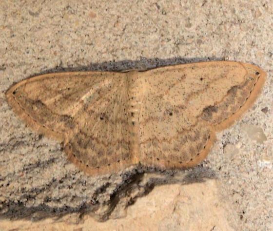 Small tanish moth - Scopula umbilicata