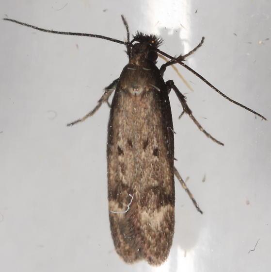 Gelechia from sycamore - Gelechia albisparsella