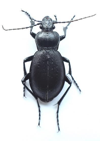 Carabus - Carabus taedatus - female