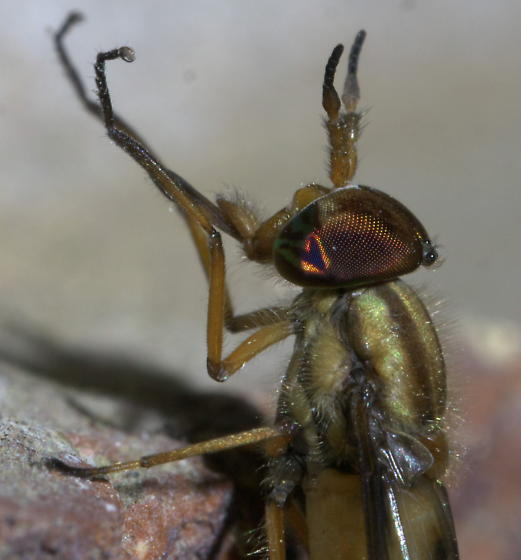 Gold deer (or horse) fly - Chrysops - male