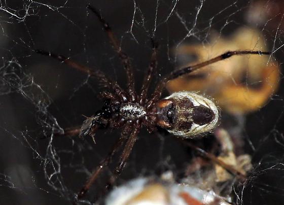 Spider in creosote bush - Diguetia signata
