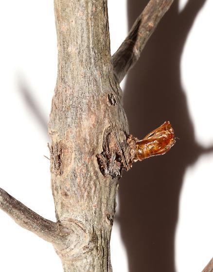 Sesiidae, Dusky Clearwing, spent pupa - Paranthrene tabaniformis