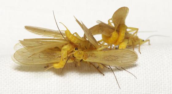 Plecoptera 2