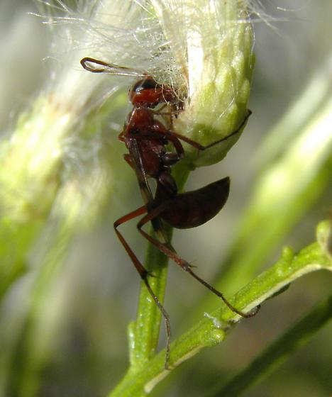 Wasp - Ageniella accepta