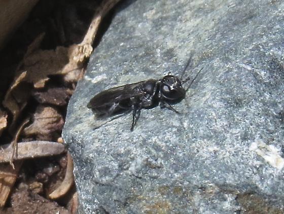 Small black wasp