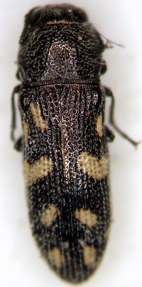 Acmaeoderopsis prosopis