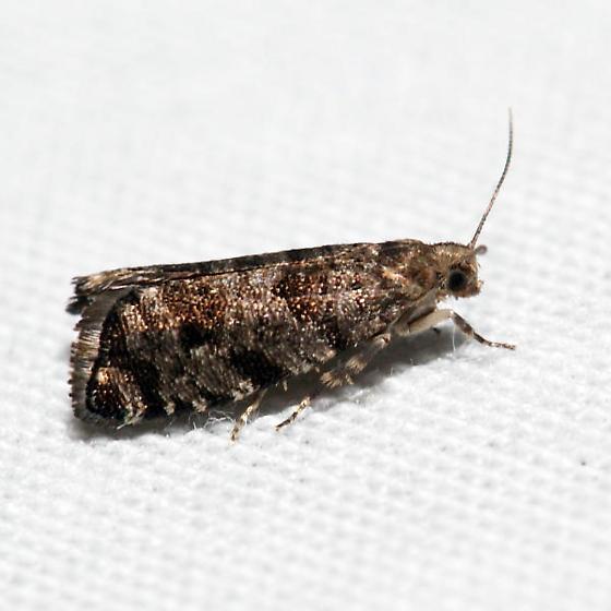 European Spruce Needleminer Moth - Catastega nanana - female