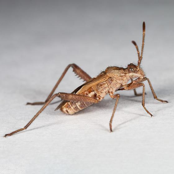 unknown bug - Tollius