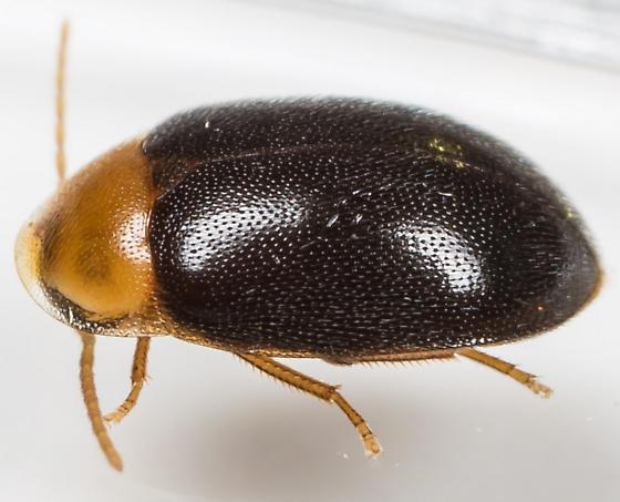 Beetle - Sacodes thoracica