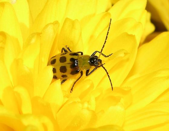 Small Yellow-Green Beetle - Diabrotica undecimpunctata