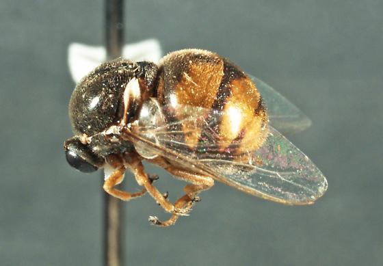 Acrocera orbicula Fabricius, 1787 - Acrocera orbicula - female
