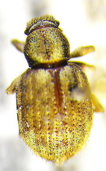 Weevil 14 - Strophosoma melanogrammum