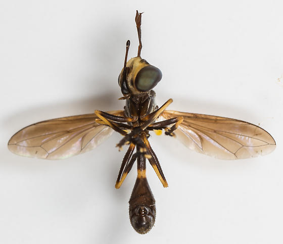 Physoconops - Physoconops obscuripennis - male