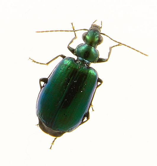green beetle - Lebia viridis