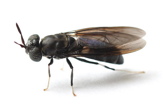 Hermetia illucens - female