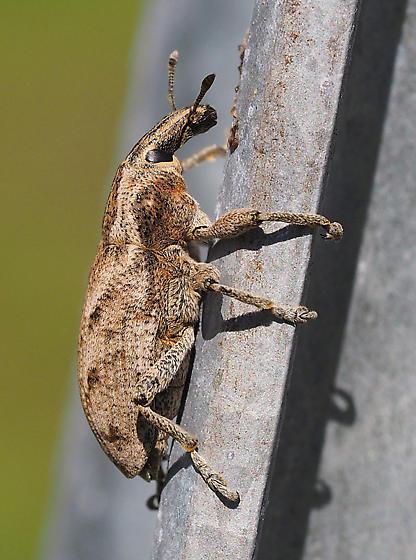 weird beetle - Cleonis piger