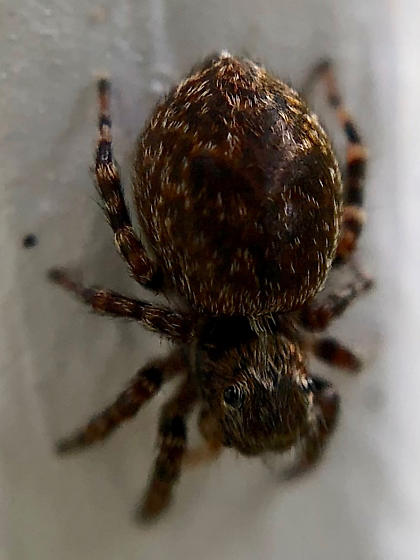 small jumping spider - Pseudeuophrys erratica