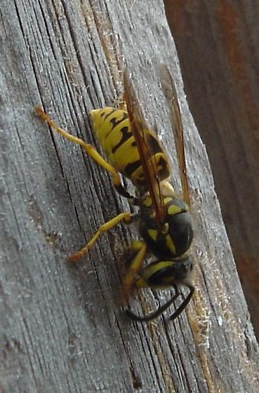 German yellowjacket (Vespula germanica) - Vespula germanica - female