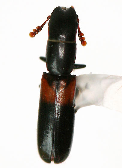 tiny Bark-gnawing Beetle - Nemozoma punctulatum - female