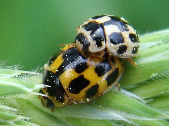 Mating Fourteen-spotted Lady Beetles - Propylea quatuordecimpunctata - male - female