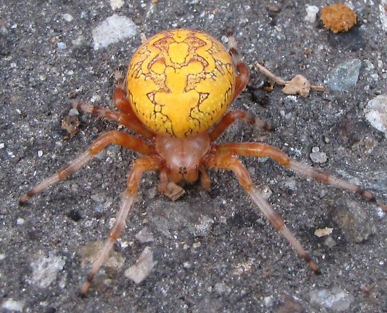 Artistic Spider - Araneus marmoreus
