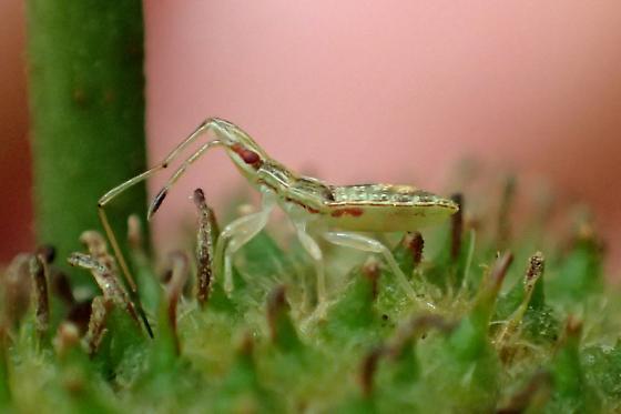 Belonochilus numenius nymph - Belonochilus numenius