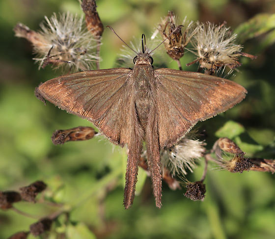 A skipper with long tails, but not a long-tailed skipper - Urbanus procne