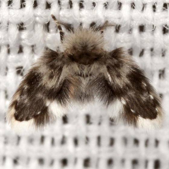 Moth Fly - Clytocerus - male