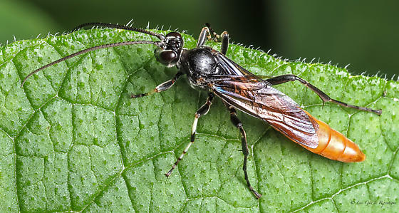 Hymenoptera. Ichneumonidae. - male